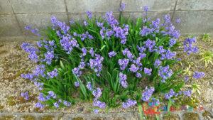 庭に植えられたヒヤシンス